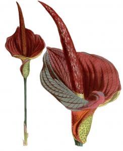 Konjak Nudeln Amorphophallus konjac Teufelszunge